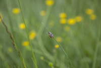 Snail climbing grass blade, Saintes-Maries-de-la-Mer, Carmague, France