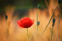 Corn poppy flower and buds