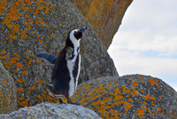 African penguin(Spheniscus demersus)in Boulders Beach, Cape Town, South Africa