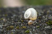 Burgundy snail (Helix pomatia) on ground