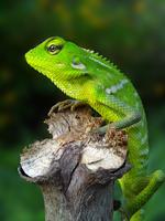 Green crested lizard (Bronchocela cristatella) crouching on pole