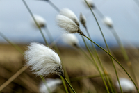 Close up of cotton grass