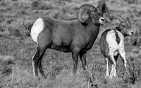 Bighorn sheep (Ovis canadensis) lamb with father, Wyoming, USA