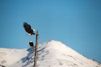 Bald eagle landing on tree against snowy landscape, Alaska, USA