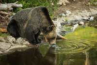 Grizzly bear (Ursus arctos ssp.) drinking water from lake
