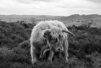 Highland bull in black and white