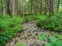 School of salmon(Salmonidae)swimming in stream