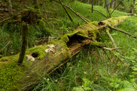 Fallen tree with moss, Bavaria, Germany