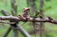 Frog and lizard on branch