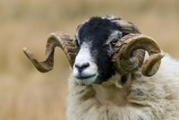 Swaledale sheep ram with twisted horns