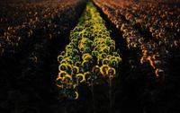 Sunflower field, Yolo County, California, USA