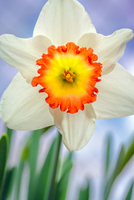 Close up of White daffodil