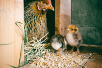 Hen in nesting box and chicks