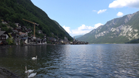 Swans swimming in Lake Hallstatt, Hallstatt, Austria