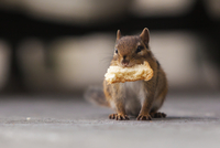 Close up of Chipmunk with bread