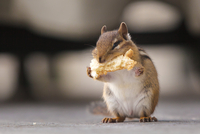 Close up of Chipmunk eating bread