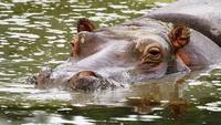 Portrait of hippo swimming in river, Tanzania, South Africa