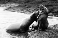 Sea lion pups playing, Galapagos, Ecuador