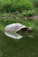Galapagos giant tortoise(Chelonoidis nigra)swimming in water, Galapagos, Ecuador
