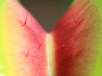 Close up of venus flytrap (Dionaea muscipula)