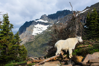 Wild goat standing in mountains, Montana, USA