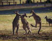 Kangaroos (Macropodidae) fighting, Canberra, Australia