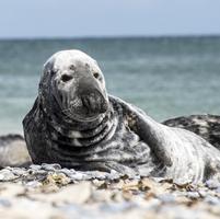 Portrait of sea lion (Otariinae) on beach, Helgoland, Germany