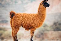 Brown llama profile, Cafayate, Salta Province, Argentina