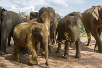 Group of elephants, Sri Lanka