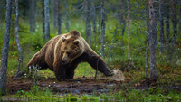 Bear hunting in forest, Finland