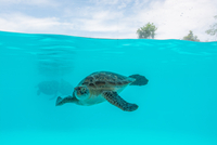 Turtle diving in blue sea, Numea, New Caledonia, France