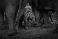 Young elephant amongst other elephants, Chiang Mai, Thailand