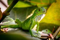 Portrait of green iguana, San Juan, Puerto Rico
