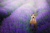 Portrait of dog sitting in lavender field, Poland