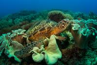 Sea turtle swimming in sea, Apo Island, Philippines