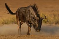 Blue wildebeest(Connochaetes taurinus)in Kgalagadi Transfrontier Park, South Africa