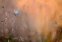 Silver-studded blue butterfly (Plebejus argus) on tall grass, Netherlands