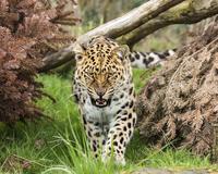 Portrait of angry Amur leopard(Panthera pardus orientalis)