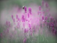 Bee pollinating lavender flower