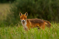 Portrait of red fox (vulpes vulpes) standing in grass