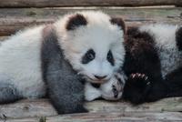 Panda cub in Chengdu Zoo, Chengdu, Sichuan province, China