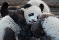Panda cubs in Chengdu Zoo, Chengdu, Sichuan province, China