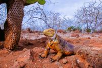 Galapagos land iguana(Conolophus subcristatus)crouching next to cactus, Galapagos Islands, Ecuador