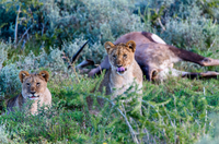 Lion(Panthera leo)cubs and dead gemsbok, Amakhala Game Reserve, South Africa