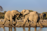 Two elephants(Loxodonta africana)playing together in Etosha National Park, Namibia