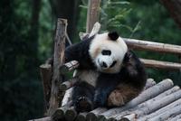 Giant panda(Ailuropoda melanoleuca) Chengdu, China