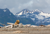 Grizzly bear(Ursus arctos ssp.)and snow-covered mountains, Hallo Bay, Kodiak, Alaska, USA
