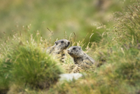 Two alpine marmots (Marmota marmota) in meadow, Zermatt, Canton of Valais, Switzerland