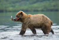 Brown bear in lake carrying salmon in mouth, Kamchatka Krai, Russia