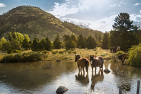 Horses in lake with hill in background, Argentina